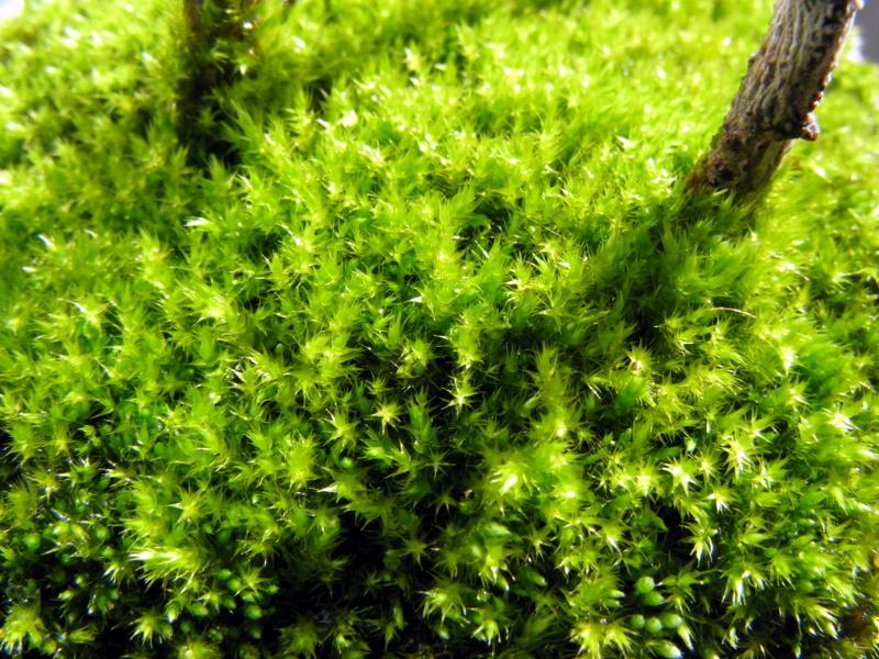 鉢植えの苔
